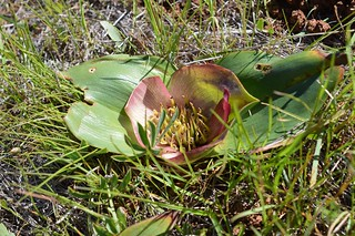 Androcymbium(Colchicum) latifolium アンドロシンビウム ラティフォリウム