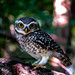 Small photo of Spotted owlet - Theosopical society, Adyar