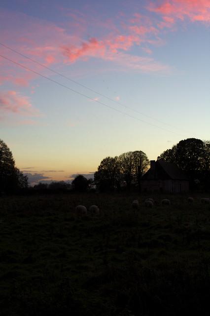 Pinke Schafe