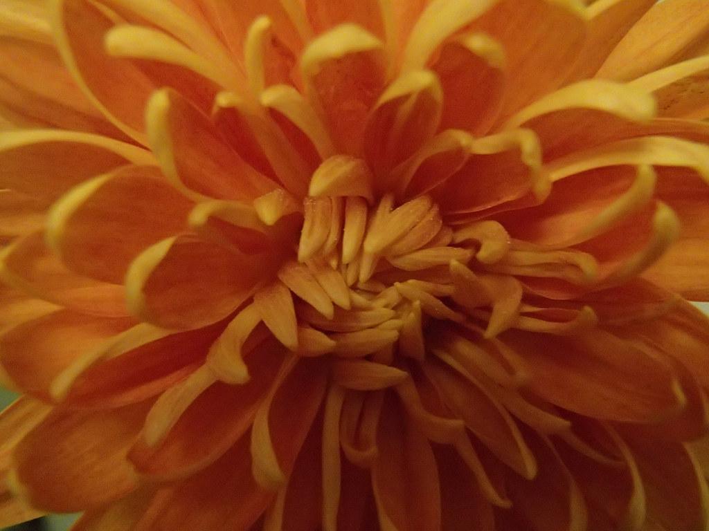 Blurry detail of Chrysanthemum 'Orange Allouise'
