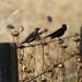 Rusty Blackbird, Gun Club Rd., CA, 11-15-14