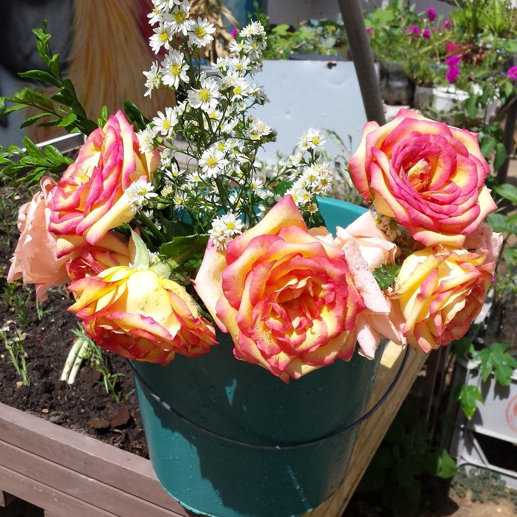 Rosas Lindas Rosas Flores Lindas Jardimperiferia Jard Flickr