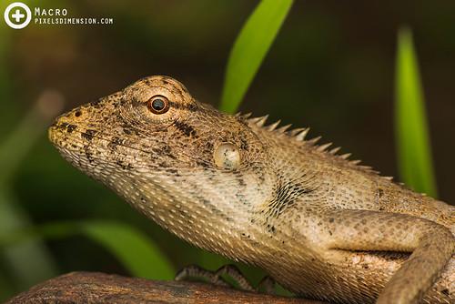 Oriental Garden Lizard- Calotes versicolor ♀