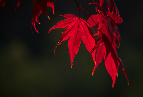 november autumn sunset red tree fall nature crimson leaves backlight outdoors evening leaf maple dof bokeh minimal foliage acer curtains glowing drapes goldenhour curtaincall cincinnatiohio tamron18270 nikond5100 lightroom5