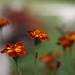 fiori d'autunno by rino_savastano