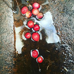 cranberries grow in bogs--not just in nature, but also on the many small farms in maine that produce a thanksgiving crop+ pick it clean. My mother blends it up with orange, ginger and pommegranate molassas-- epic!