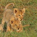 Lion Cubs by JohnGerlach Photography