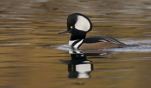 Hooded Merganser  m, Canon EOS 5D MARK IV, Canon EF 800mm f/5.6L IS
