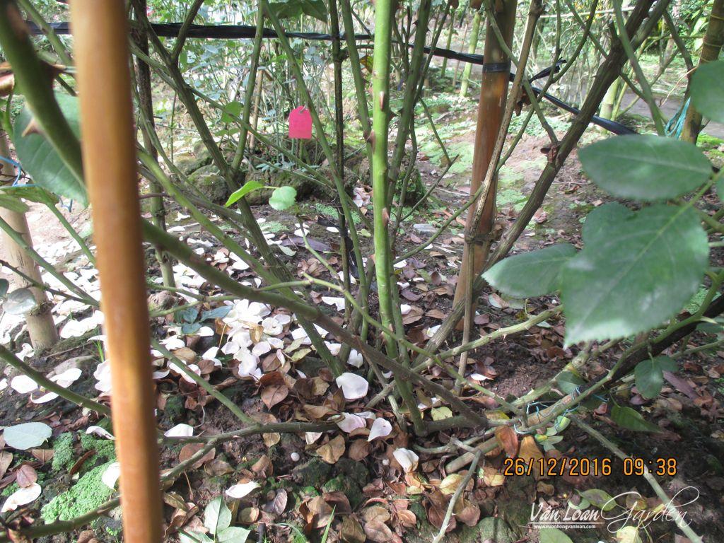 cham soc cat tia hoa hong ngoai ra hoa dung tet (13)-vuonhongvanloan.com
