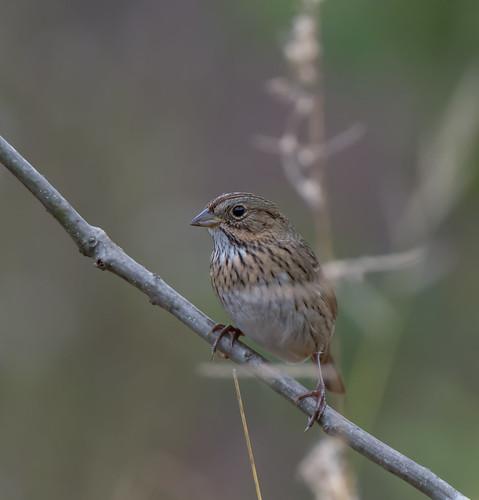 lincolnssparrow sparrow melospizalincolnii melospiza bonniecoatesott