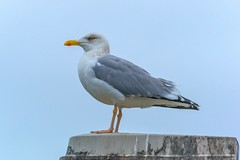 wildlife(0.0), animal(1.0), charadriiformes(1.0), wing(1.0), fauna(1.0), great black-backed gull(1.0), european herring gull(1.0), beak(1.0), bird(1.0), seabird(1.0),
