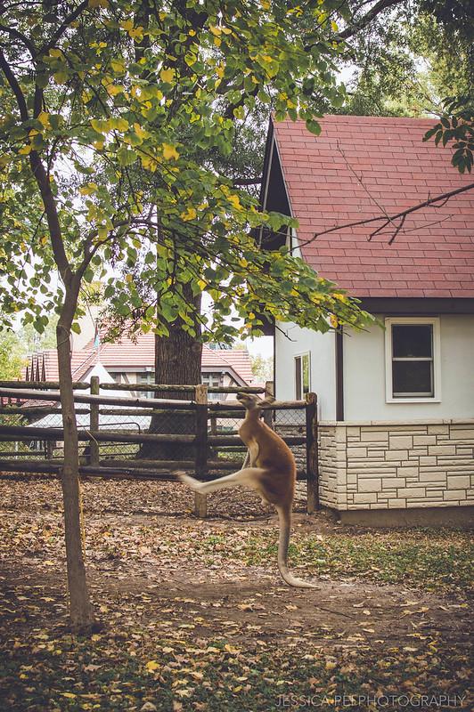 kangaroo jump hop grant's farm dance funny balance tail