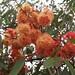 Eucalyptus 'Torwood' by synandra14
