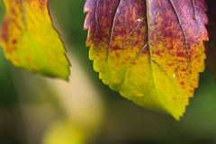 Colouring of leaves