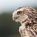 Little Owl by Click U