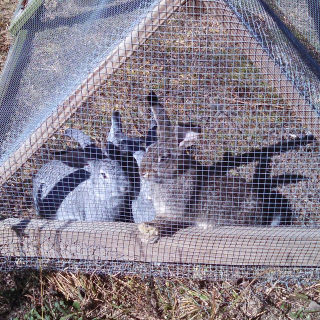 Young rabbits in the grow out pen