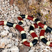 Sonoran Coral Snake (Micruroides euryxanthus) by David A Jahn