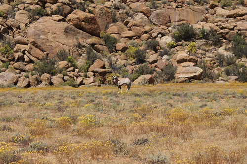 В заповеднике большое количество антилоп Gemsbok