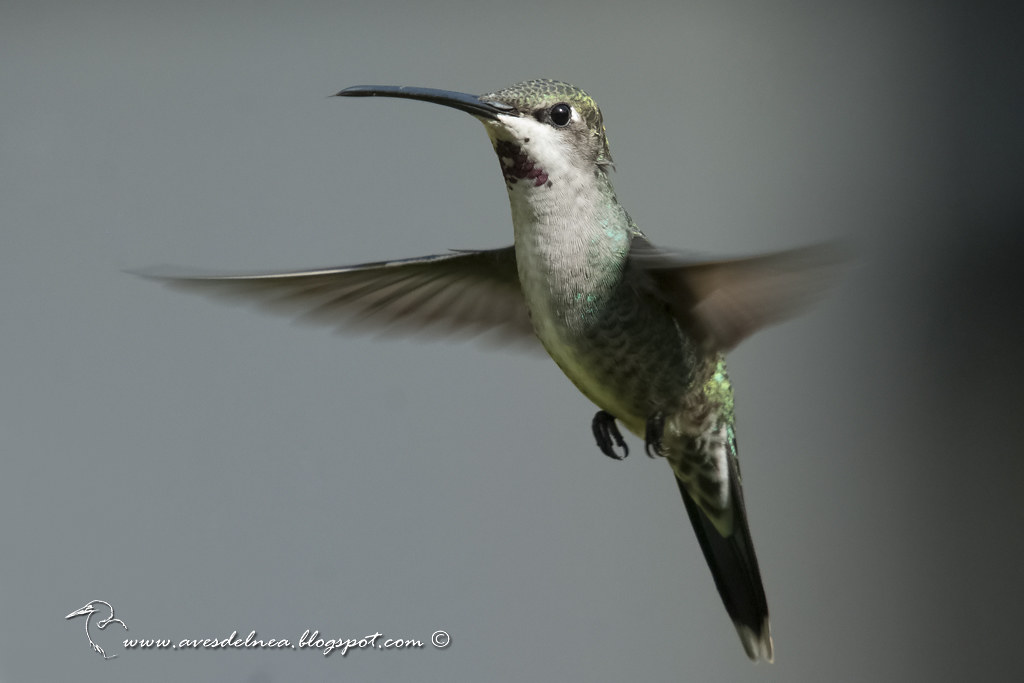 Picaflor picudo, Long-billed Starthroat, Heliomaster longirostris