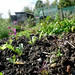 Winter salads - Allotment - 19th October 2014