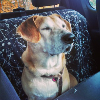 Our other dogs would do anything for a ride... Sophie has a melt down, drools and wishes REALLY hard to be at home. #dogstagram #instadog #rescued #houndmix #adoptdontshop #notsohappydog