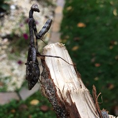 """Ever seen a brown Praying Mantis? I was about to put my key in my door and this guy was on the doorbell. I got this stick and """"corralled"""" it lol. Back into the wild you go! #nature #mantis #prayingmantis #fresh #fun #diy #dmv #designer #artistic #lovewhat"""