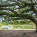 Live oak at Cane River Lake