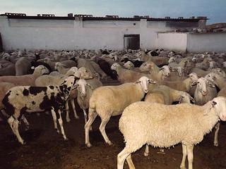 Rebaño de ovejas siendo recogido en la majada