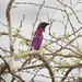 Small photo of Violet-backed Starling
