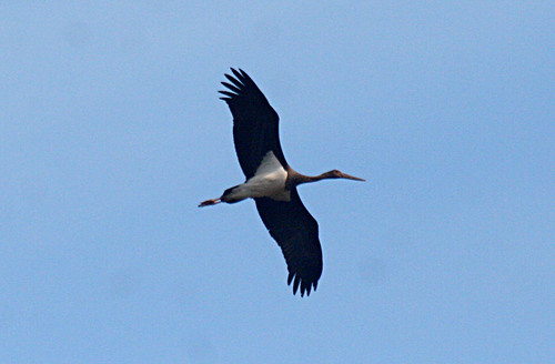 Black Stork Ciconia nigra Cabranosa, Sagres, Portugal October 2014