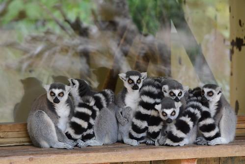 Kattas im Zoo de La Flèche