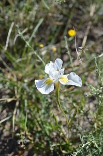 Moraea serpentina モラエア セルペンティナ