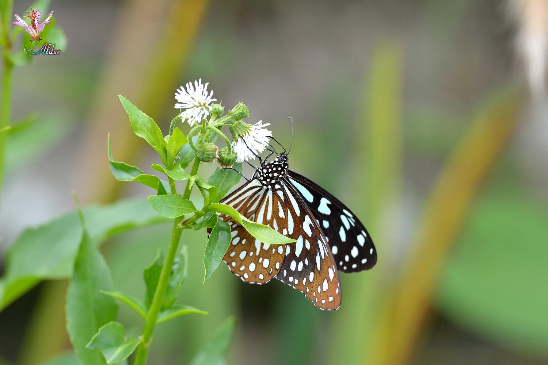 Butterfly_9080