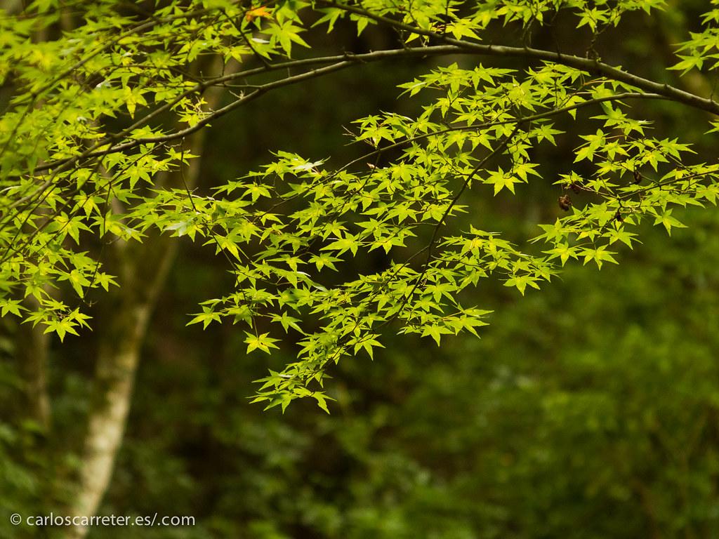 En el bosque primario del Monte Misen - MIyajima