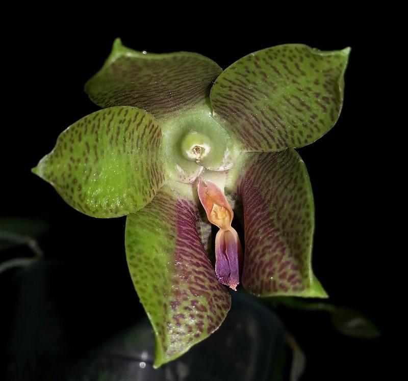 Phalaenopsis gigantea x bellina (Gigabell) 15831798152_79d93d855c_c