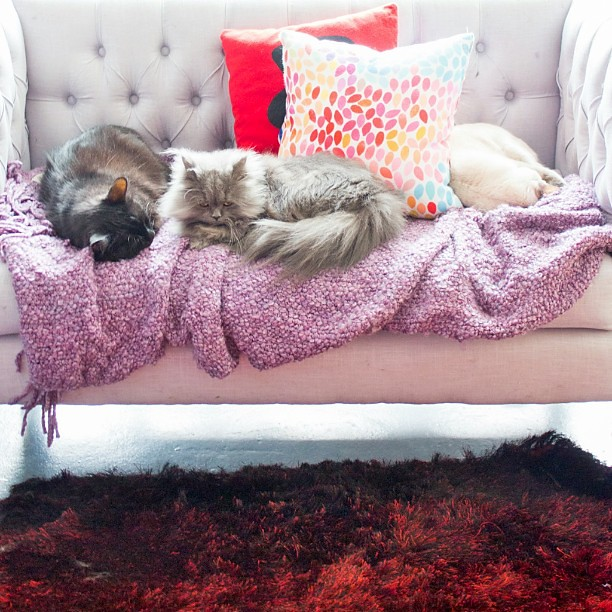 Work up to to find my babes all sleeping on the couch.  Except Bofinkles, she slept with me. #goblin #cats #cat #persiancat #Persian #fluffy #fluffball #kitten #furry #catsofinstagram #greycat  #wayfairathome #siamesecat #mainecoon #love #slumberparty