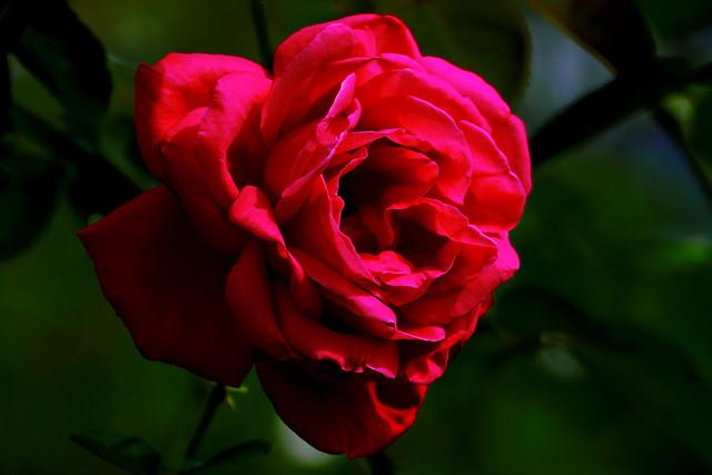 Red Rose (Maria Callas) : 深紅の薔薇(マリア・カラス)