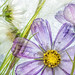Cosmos ice by Mandy Disher