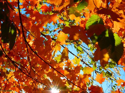 backlitautumndelight rcvernors rickchilders autumn fall colorfulfoliage foliage orange sunlight light bluesky upward lookingup