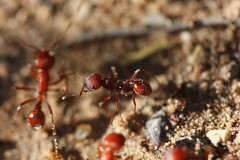 IMG_0536 Red Imported Fire Ant