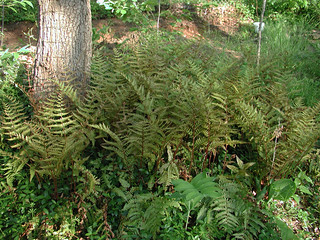 Picture of a grouping of ferns