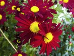 annual plant, flower, plant, marguerite daisy, flora, petal,