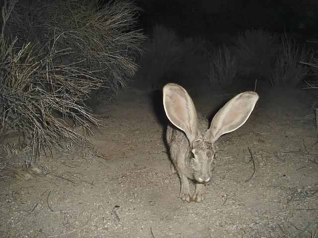 ears!