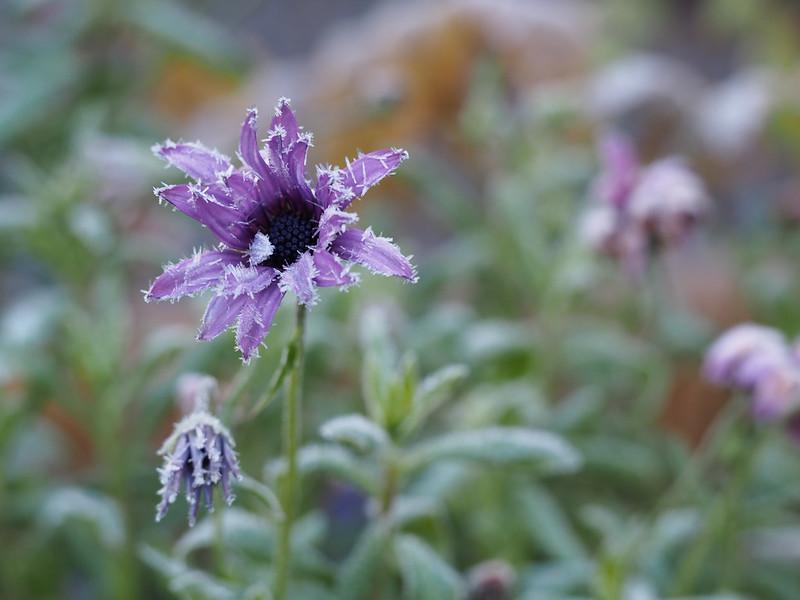 Frosen flower