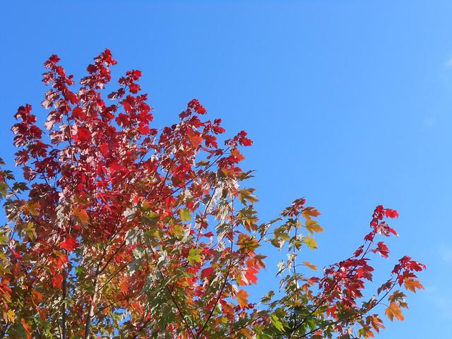 "Acer X freemanii ""Autumn Blaze"" 11.10.2014 Helsinki Meilahti"