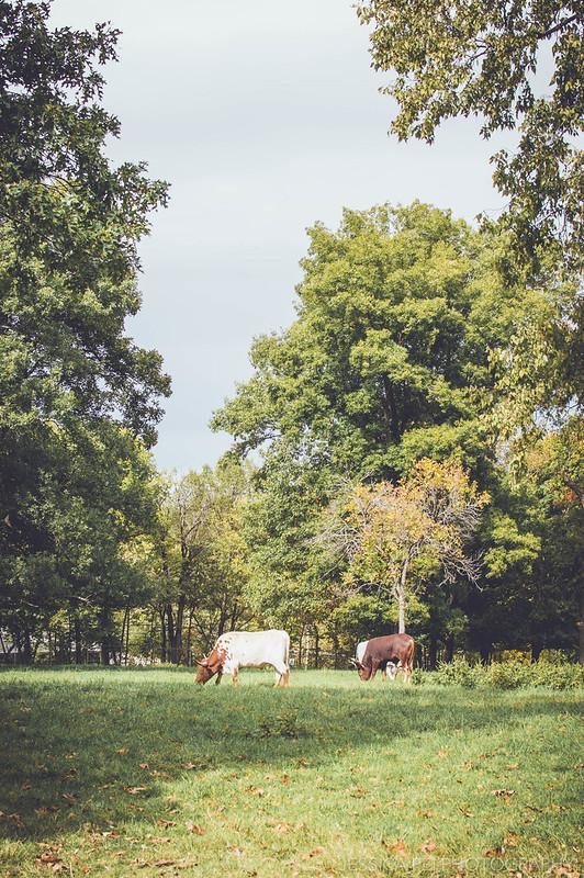 longhorns animals cows grant's farm missouri