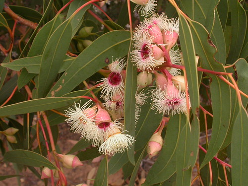 DSCN3344 Eucalyptus leucoxylon, West Bay, Flinders Chase National Park, Kangaroo Island, South Australia