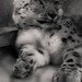snow.leopard.mono-1
