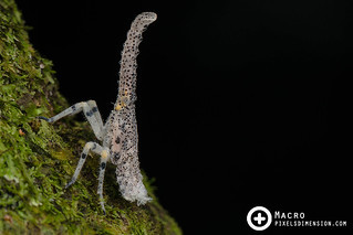 Lantern Bug Nymph (Zanna sp.)