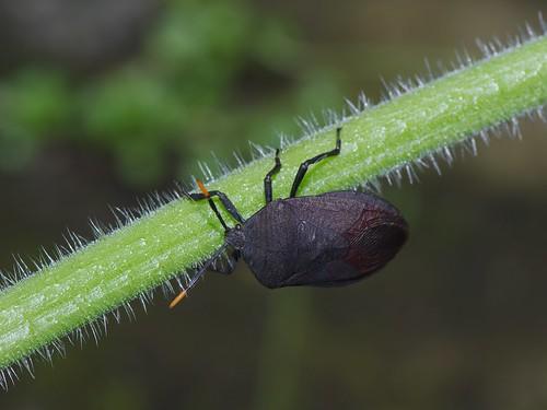 九香蟲。這種椿象常出現在野生瓜類上。(圖片攝影:李鍾旻)